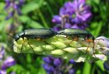 Lytta sayi --green blister beetles on lupines - Chignecto