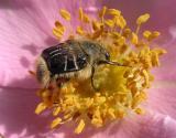 Trichiotinus assimilis Kirby --- Bee-like flower chafer beetle