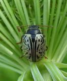 Dogwood Calligrapha beetle - Calligrapha (philadelphica?) - 1