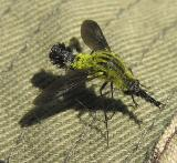 Lepidophora lutea -- bee fly - view 1