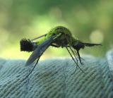 Lepidophora --bee fly - view 2