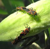Eastern Milkweed Bugs -- Lygaeus kalmii