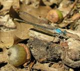 Powdered Dancer - Argia moesta - female