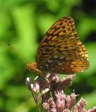 Great Spangled Fritillary (?) - Speyeria cybele ?