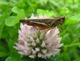 spurthroated grasshopper (?) -- Melanoplus species on clover