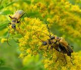 Pennsylvania Leatherwings -- Chauliognathus pennsylvanicus - mating pair