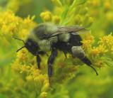 Bumblebee collecting pollen from goldenrod -- not yet ID'd.