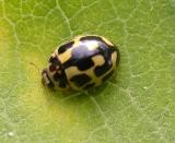Fourteen-spotted lady beetle - Propylea quaduordecimpunctata - view 1
