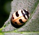 Three-banded lady beetle -- Coccinella trifasciata