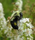 bumblebee on Meadowsweet -- not ID'd yet - view 1