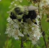 bumblebee on Meadowsweet -- not ID'd yet - view 2