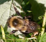 bumblebee on raspberry leaf -- not ID'd yet