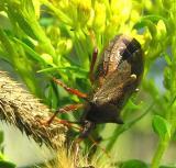 predatory stinkbug -- close-up - view 2