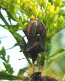predatory stinkbug -- cluse-up -- view 3