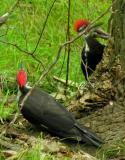 Pileated Woodpeckers -- view 1
