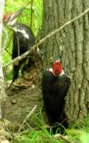 Pileated Woodpeckers -- view 3