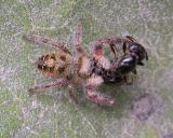 Bronze Jumper (?) -- Eris militaris (?) - carrying ant -- view 3