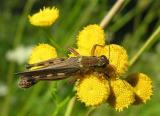 grasshopper on tansy - 2