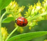 Harmonia axyridis on goldenrod