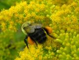 Bumblebee with pollen -- view 1