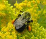 Bumblebee with pollen -- view 2