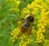 Red-tailed Bumblebee -- view 1
