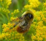 Red-tailed Bumblebee -- view 3