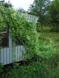 Wild cucumber vines on porch