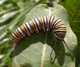 Monarch caterpillar - 5