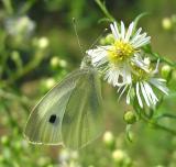 Cabbage White - Pieris rapae - view 1