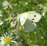 Cabbage White - Pieris rapae - view 2