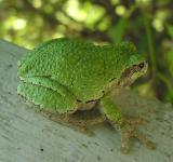 Gray treefrog -- Hyla versicolor
