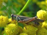 grasshopper-tansy-1.jpg