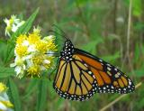 Monarch -- Danaus plexippus) - under