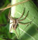 Diamond spider - Thanatus formicinus ?