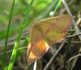 Haematopis grataria - 7146 - Chickweed Geometer  - female