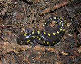 Ambystoma maculatum  -- Spotted Salamander