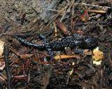 Ambystoma laterale  -- Blue-spotted Salamander