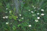 fairy ring of Amanita mushrooms