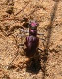 tiger-beetle-2.jpg