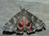 Catocala sp. (Underwing Moth)