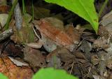 Rana sylvatica  --  Wood frog