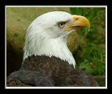 Bald Eagle 376