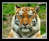Tiger 277