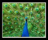 Peacock 093