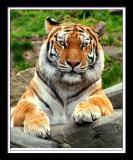 Tiger 268