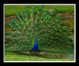 Peacock 072