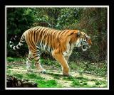 Tiger 223