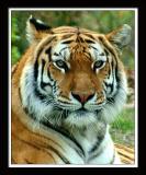Tiger 181