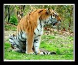 Tiger 191